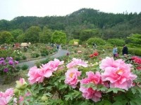 2018-05-13花と泉の公園-牡丹園062