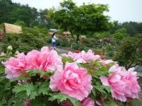 2018-05-13花と泉の公園-牡丹園061