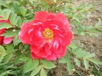 2018-05-13花と泉の公園-牡丹園070