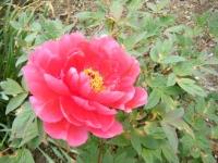 2018-05-13花と泉の公園-牡丹園069