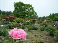 2018-05-13花と泉の公園-牡丹園067