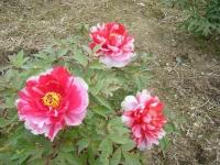 2018-05-13花と泉の公園-牡丹園078
