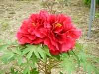 2018-05-13花と泉の公園-牡丹園076