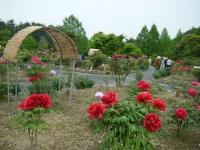 2018-05-13花と泉の公園-牡丹園075