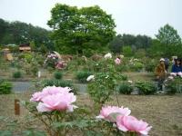 2018-05-13花と泉の公園-牡丹園073