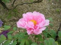 2018-05-13花と泉の公園-牡丹園084