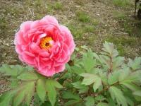 2018-05-13花と泉の公園-牡丹園082