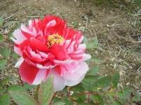 2018-05-13花と泉の公園-牡丹園081