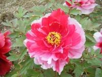2018-05-13花と泉の公園-牡丹園080