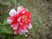 2018-05-13花と泉の公園-牡丹園079