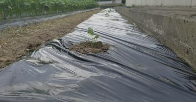 スイカ空中栽培