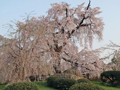 円山公園 しだれ桜500