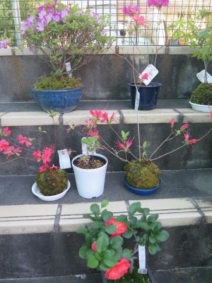 ヤマツツジ(かさね咲き、かがり火、濃色日光見染)ミヤマキリシマ(胡蝶の舞)、