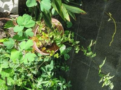 山椒とボタンボウフウ