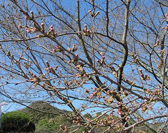 信貴山の桜02