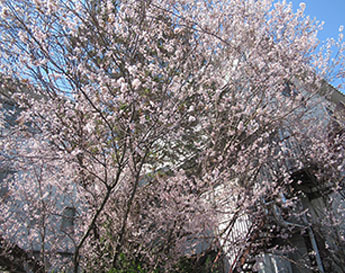 信貴山の桜01