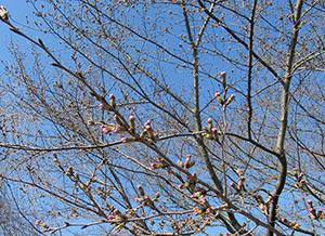信貴山-桜2