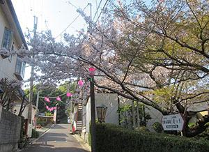 信貴山-桜1