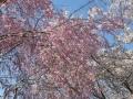 信貴山-桜5