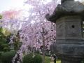 信貴山-桜4