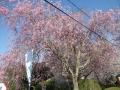 信貴山-桜3