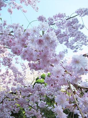 信貴山-桜6