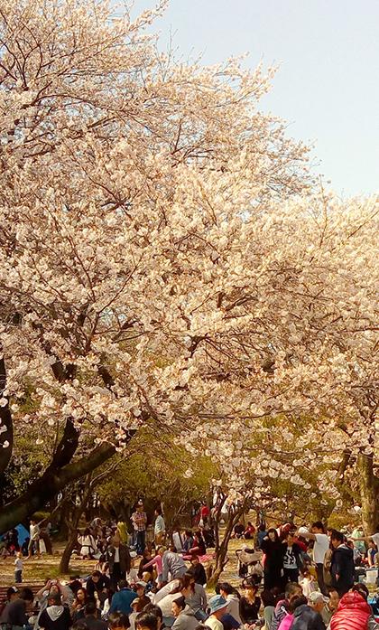 千葉公園は花見客でいっぱい