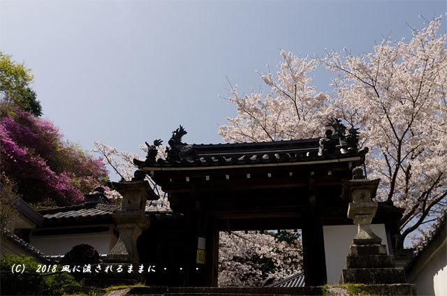 京都・木津市 神童寺 桜とミツバツツジ1