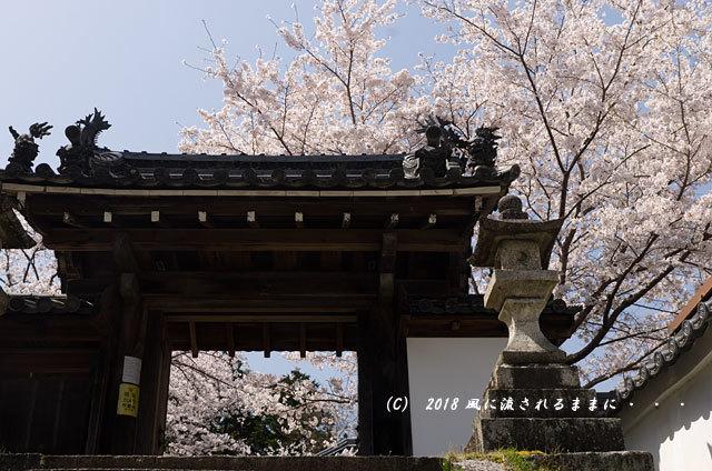 京都・木津市 神童寺 桜とミツバツツジ2