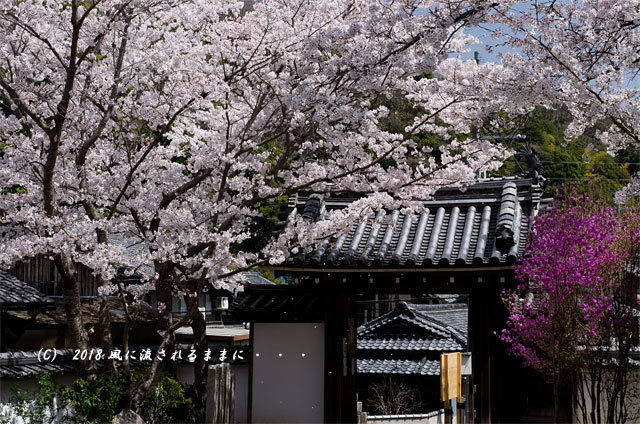京都・木津市 神童寺 桜とミツバツツジ3