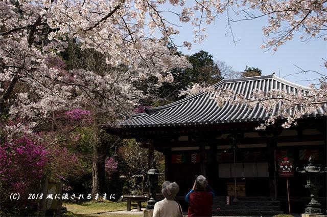 京都・木津市 神童寺 桜とミツバツツジ4
