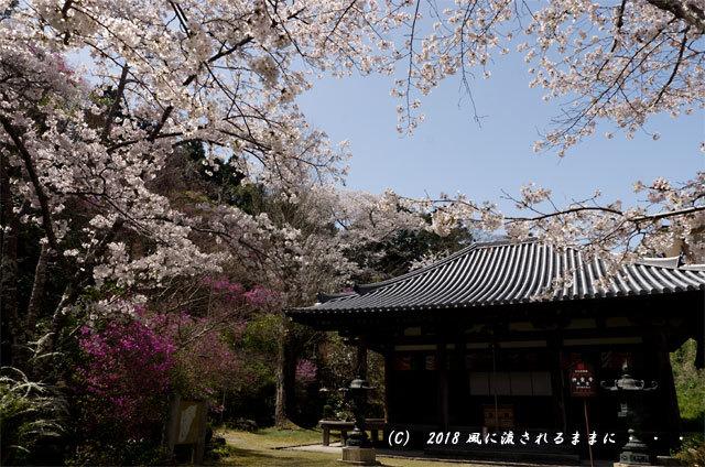 京都・木津市 神童寺 桜とミツバツツジ5