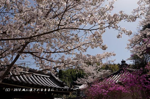 京都・木津市 神童寺 桜とミツバツツジ6