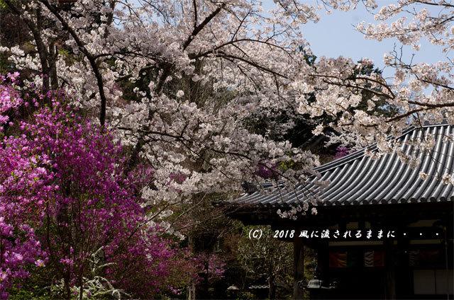 京都・木津市 神童寺 桜とミツバツツジ7