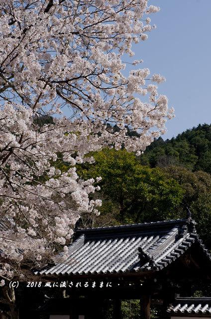 京都・木津川市 海住山寺(かいじゅうせんじ) 桜1