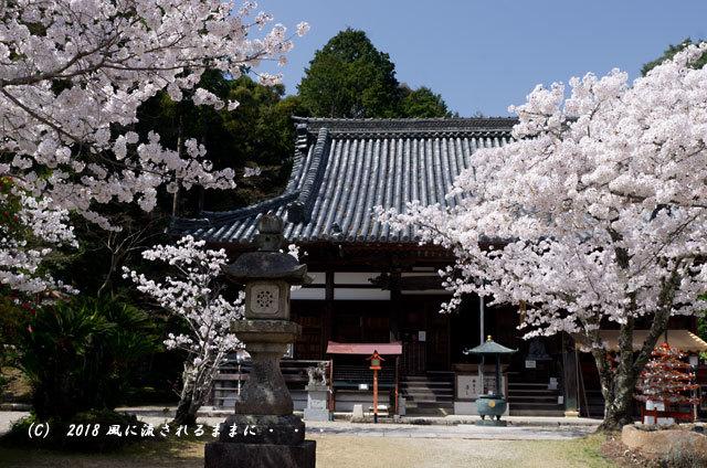 京都・木津川市 海住山寺(かいじゅうせんじ) 桜2