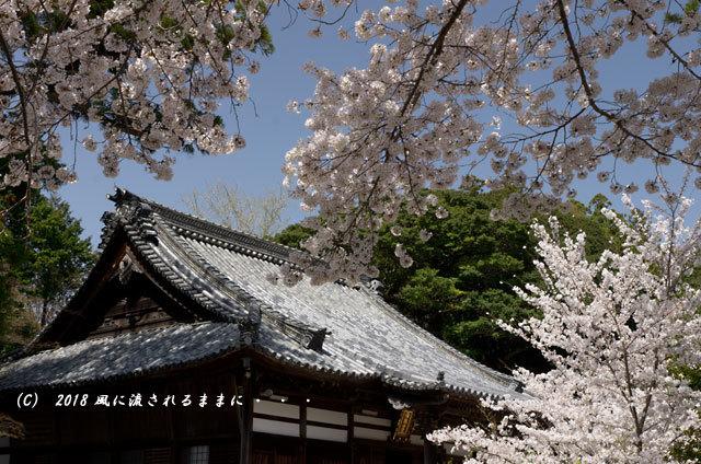 京都・木津川市 海住山寺(かいじゅうせんじ) 桜3