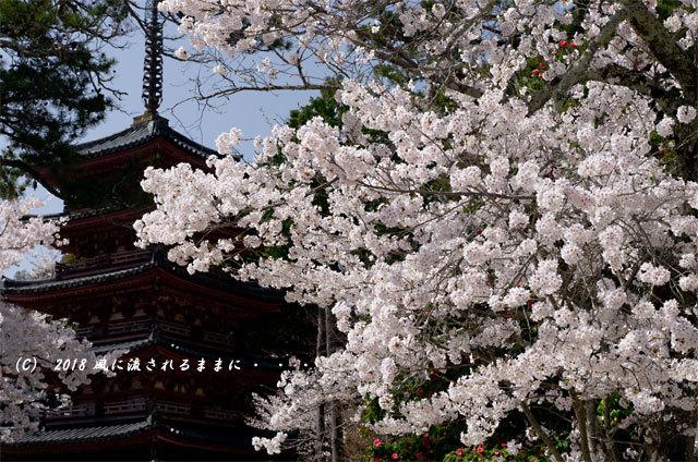 京都・木津川市 海住山寺(かいじゅうせんじ) 桜4