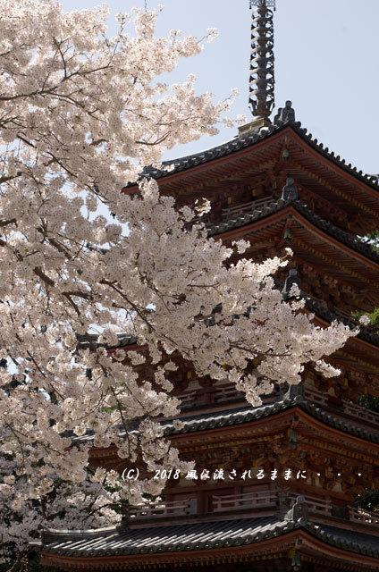 京都・木津川市 海住山寺(かいじゅうせんじ) 桜7