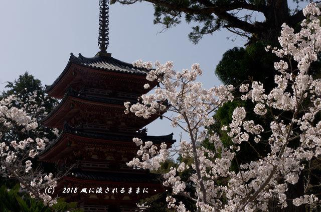京都・木津川市 海住山寺(かいじゅうせんじ) 桜8