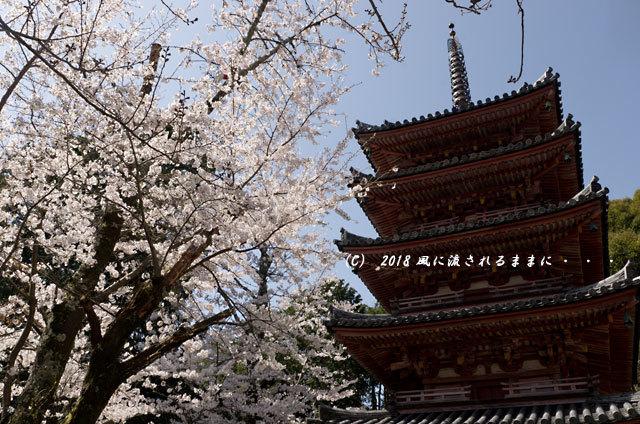 京都・木津川市 海住山寺(かいじゅうせんじ) 桜9
