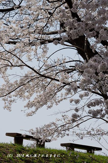 京都・木津川市 木津川河畔のとある桜並木8