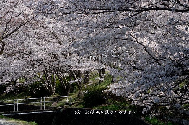 京都・木津川市 木津川河畔のとある桜並木9