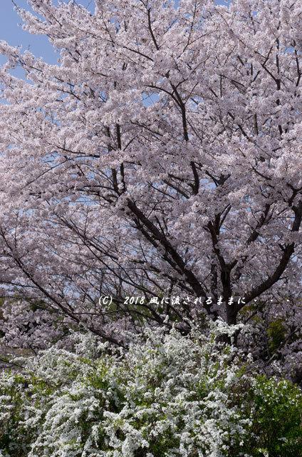 京都・木津川市 木津川河畔のとある桜並木1