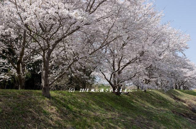 京都・木津川市 木津川河畔のとある桜並木2
