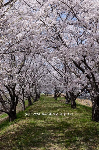 京都・木津川市 木津川河畔のとある桜並木3