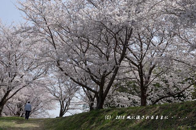 京都・木津川市 木津川河畔のとある桜並木5