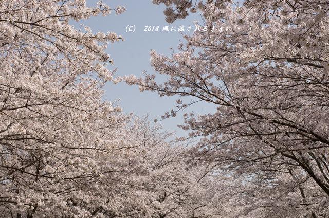 京都・木津川市 木津川河畔のとある桜並木7