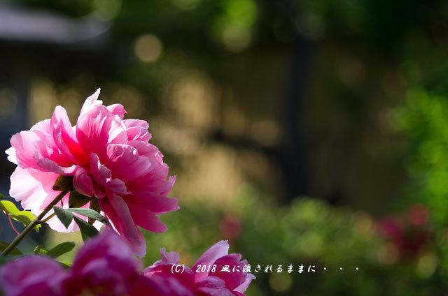 奈良・石光寺 春爛漫の庭園 2018年4月21日撮影10