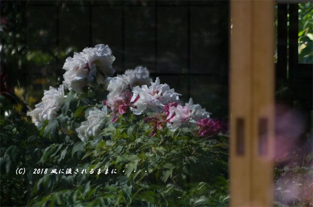 奈良・石光寺 春爛漫の庭園 2018年4月21日撮影8